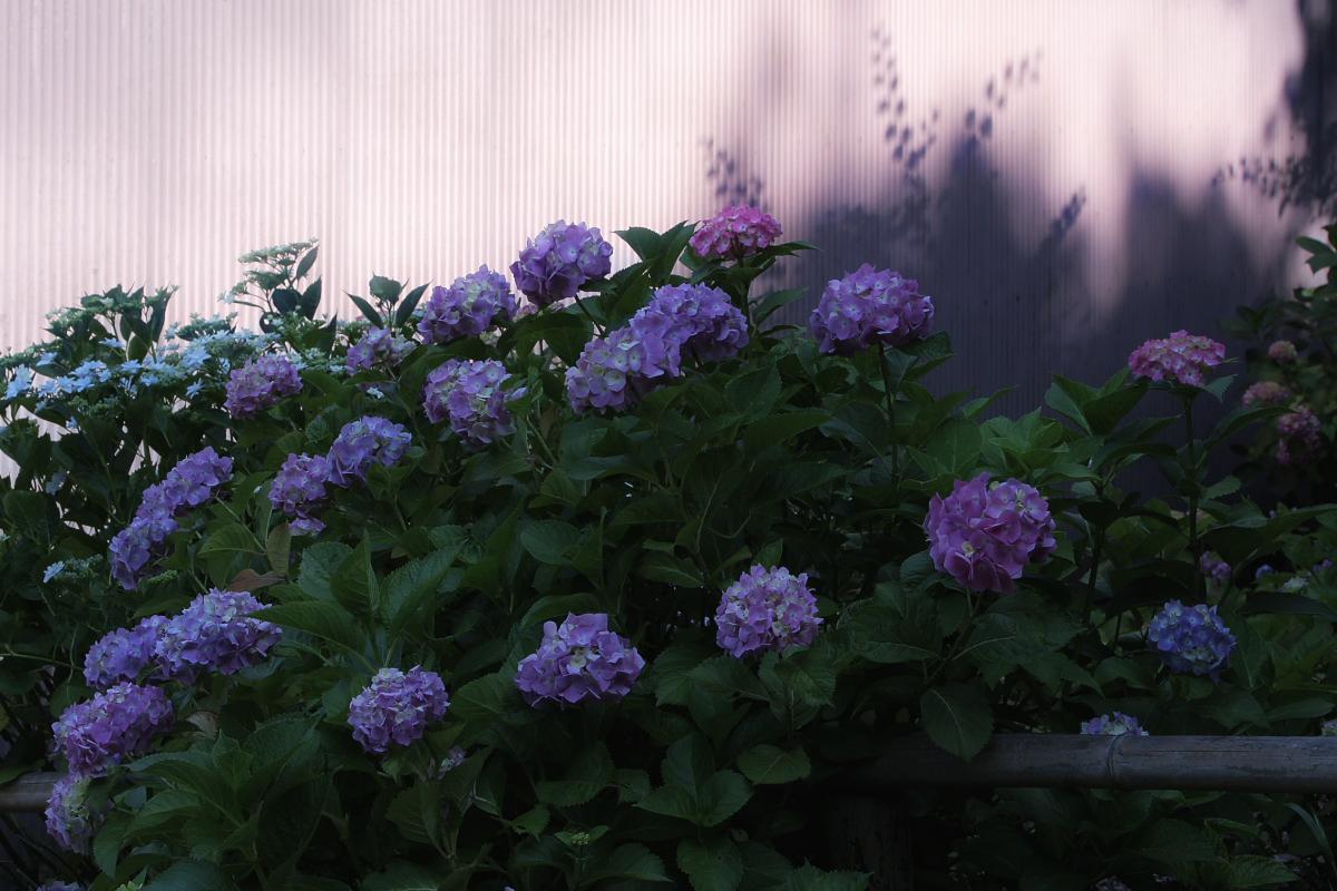 奈良 矢田寺 <紫陽花>  6_f0021869_11142375.jpg
