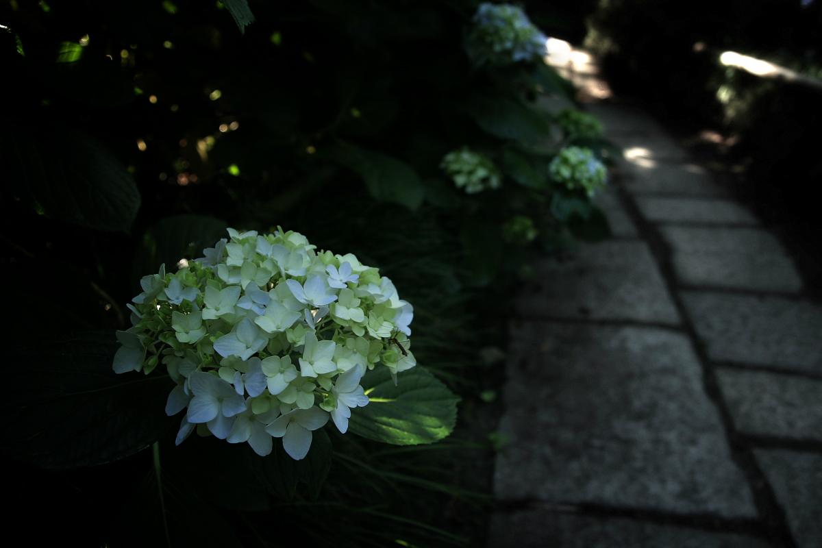 奈良 矢田寺 <紫陽花>  6_f0021869_11174247.jpg