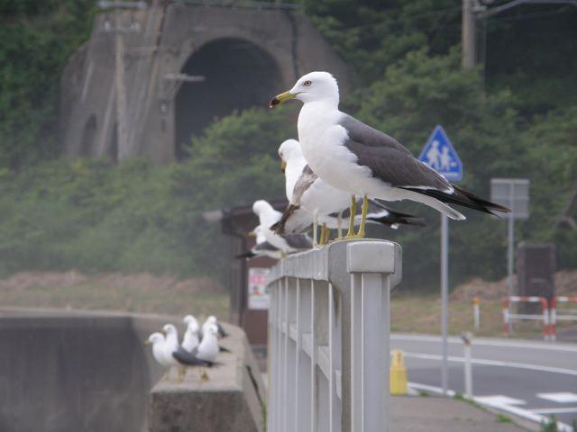 笹川流れ ウミネコ_d0146592_21561394.jpg