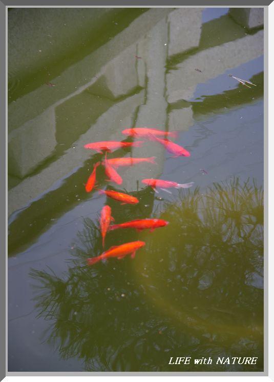 池の鯉_b0093088_7273393.jpg