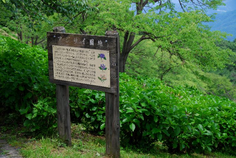 美の山公園のアジサイ_e0124594_2037323.jpg