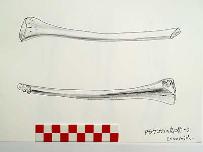 イメージ・アカウミガメの烏口骨_c0019338_10595785.jpg