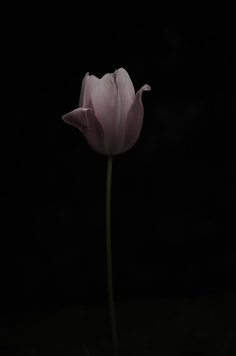 ピンク色のチューリップが一輪。それだけの寂しい一枚です。