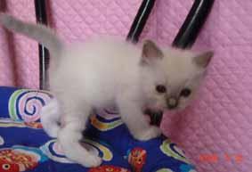 ラグドール 子猫ちゃん ブルーポイント ミテッドの女の子_e0033609_2164249.jpg