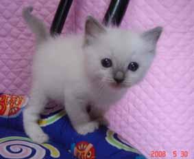 ラグドール 子猫ちゃん ブルーポイント ミテッドの女の子_e0033609_2171040.jpg