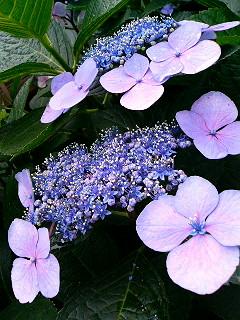 紫陽花_a0103940_1717449.jpg
