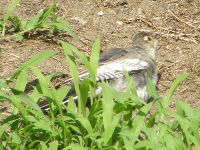 根川緑道 ハクセキレイ(幼鳥? 若鳥?)_d0146592_21121663.jpg