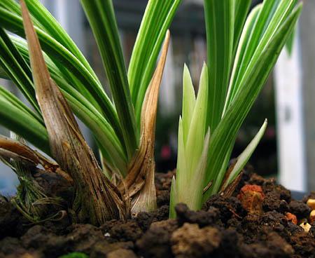 ◆日本春蘭・散り斑覆輪「華厳」の新芽     No.305_d0103457_37445.jpg