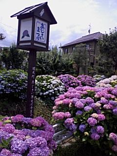 開成町あじさい祭り_e0013178_14551263.jpg