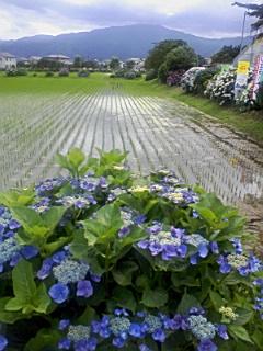 開成町あじさい祭り_e0013178_14551396.jpg