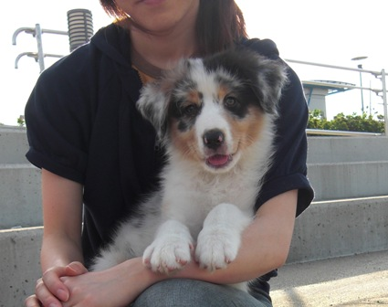 Image result for Australian Shepherds 犬 子犬