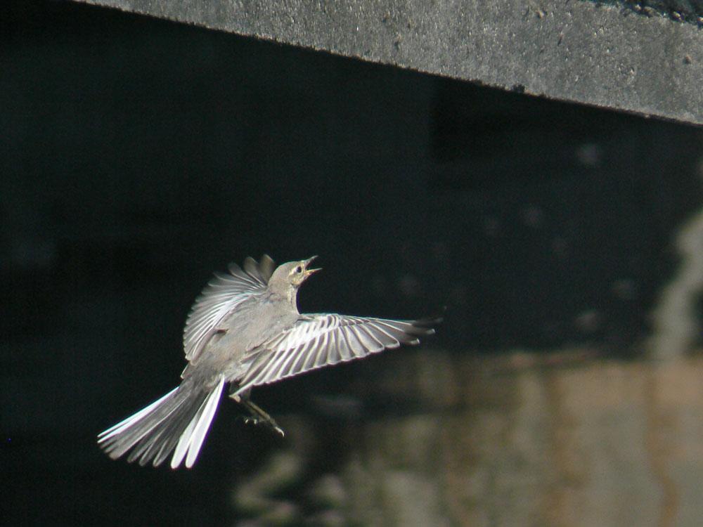 元気よく飛び回るハクセキレイの幼鳥たち (写真追加 7/6)_e0088233_631078.jpg