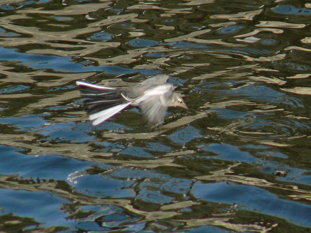 元気よく飛び回るハクセキレイの幼鳥たち (写真追加 7/6)_e0088233_633256.jpg