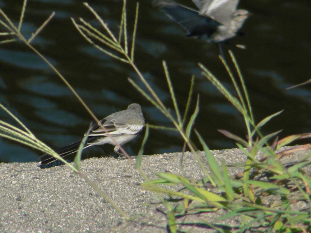 元気よく飛び回るハクセキレイの幼鳥たち (写真追加 7/6)_e0088233_641128.jpg