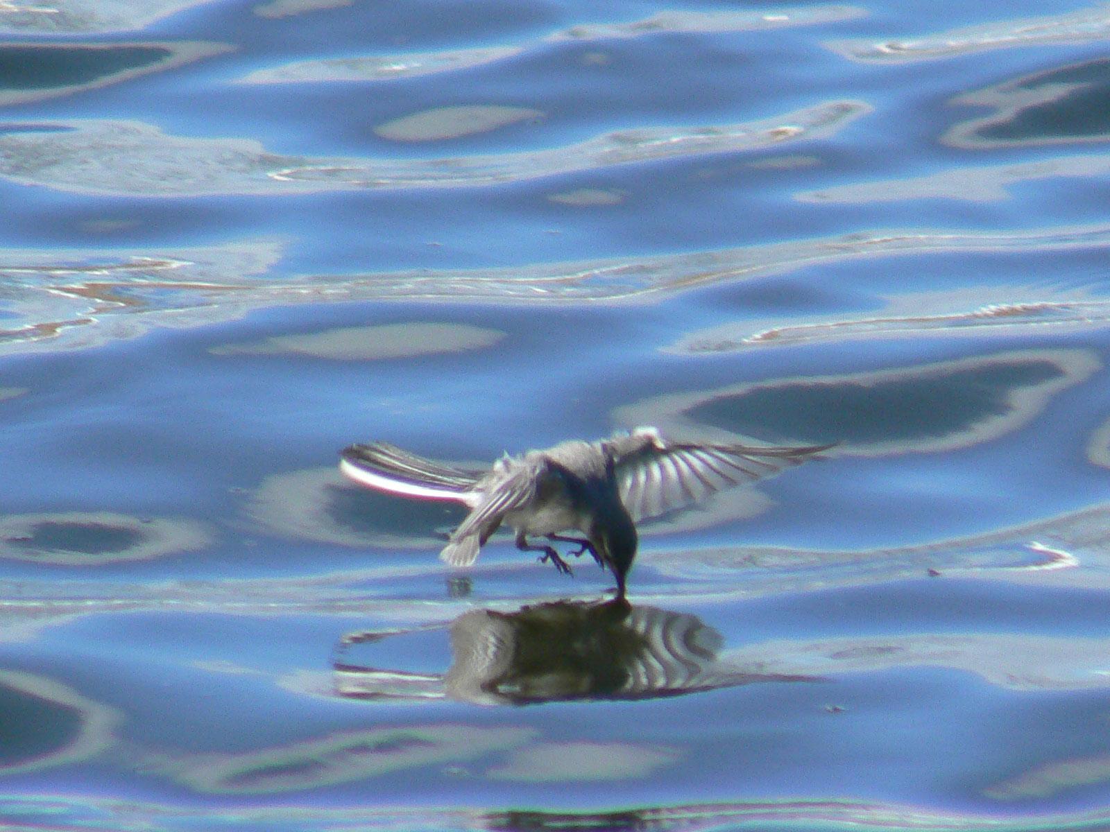 元気よく飛び回るハクセキレイの幼鳥たち (写真追加 7/6)_e0088233_672614.jpg