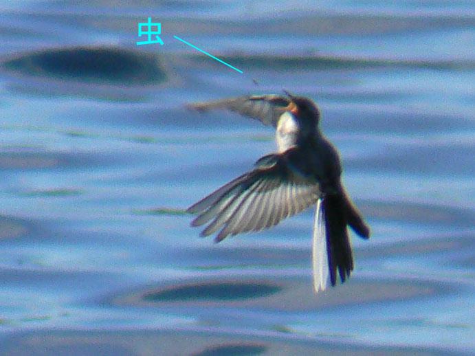 元気よく飛び回るハクセキレイの幼鳥たち (写真追加 7/6)_e0088233_883362.jpg