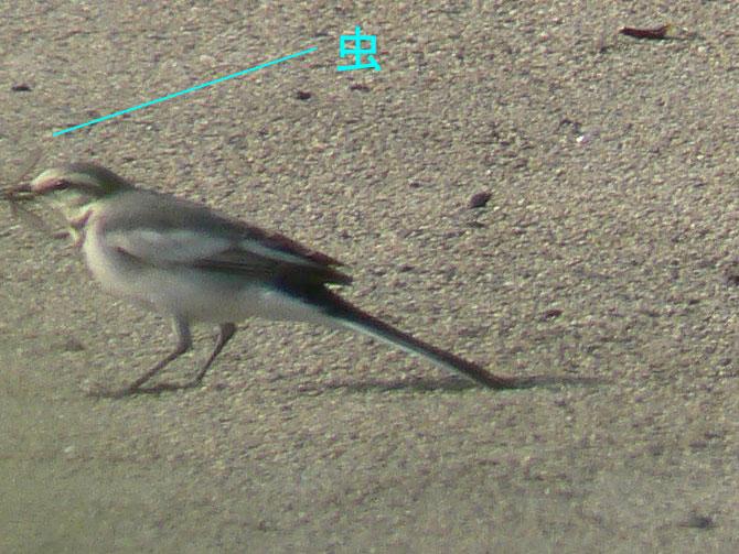 元気よく飛び回るハクセキレイの幼鳥たち (写真追加 7/6)_e0088233_891134.jpg