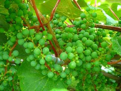 ヤマブドウの実が大きくなった_f0120697_1264040.jpg