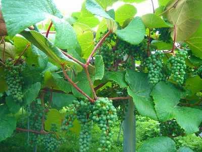 ヤマブドウの実が大きくなった_f0120697_128531.jpg