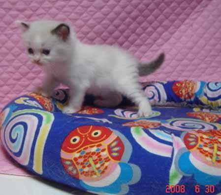 ラグドール 子猫ちゃん_e0033609_2224058.jpg