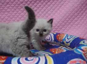 ラグドール 子猫ちゃん_e0033609_2231145.jpg