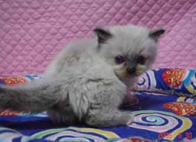 ラグドール 子猫ちゃん_e0033609_2234568.jpg