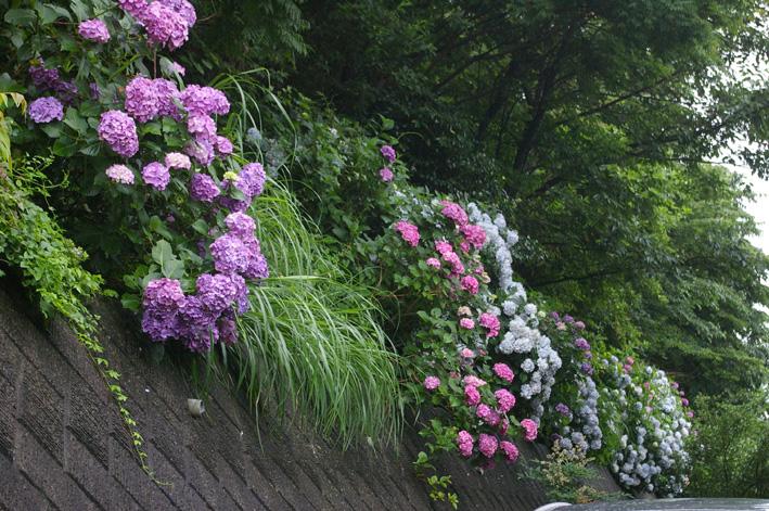 北鎌倉アジサイ便り(2008・6・29)_c0014967_3535256.jpg