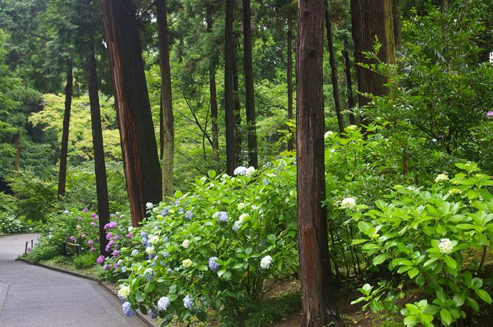 北鎌倉アジサイ便り(2008・6・29)_c0014967_422663.jpg
