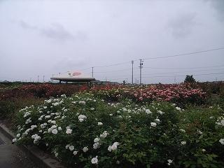 JA西三河 西尾市 憩の農園・バラ園_f0059988_9375995.jpg