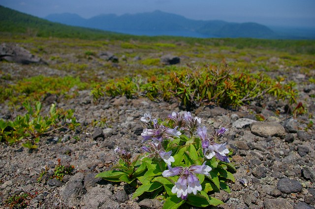 7月1日、樽前山-タルマエソウの写真-_f0138096_204525100.jpg