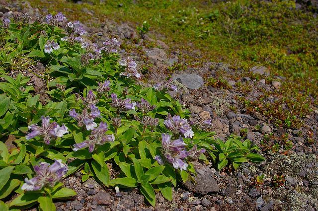 7月1日、樽前山-タルマエソウの写真-_f0138096_20453830.jpg