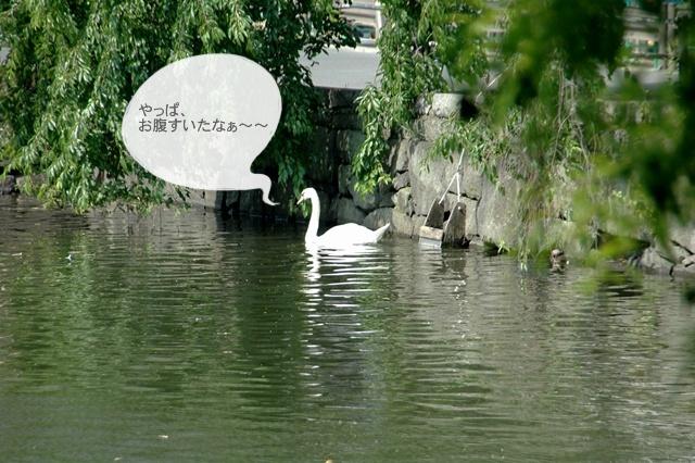 7月1日、皇居お濠のこぶちゃん_f0012718_1445149.jpg