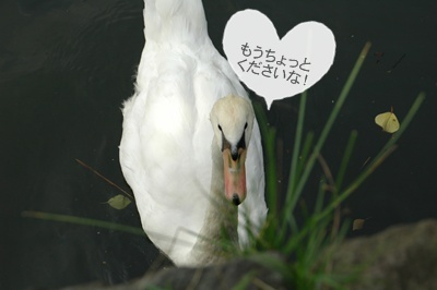 7月1日、皇居お濠のこぶちゃん_f0012718_15195542.jpg