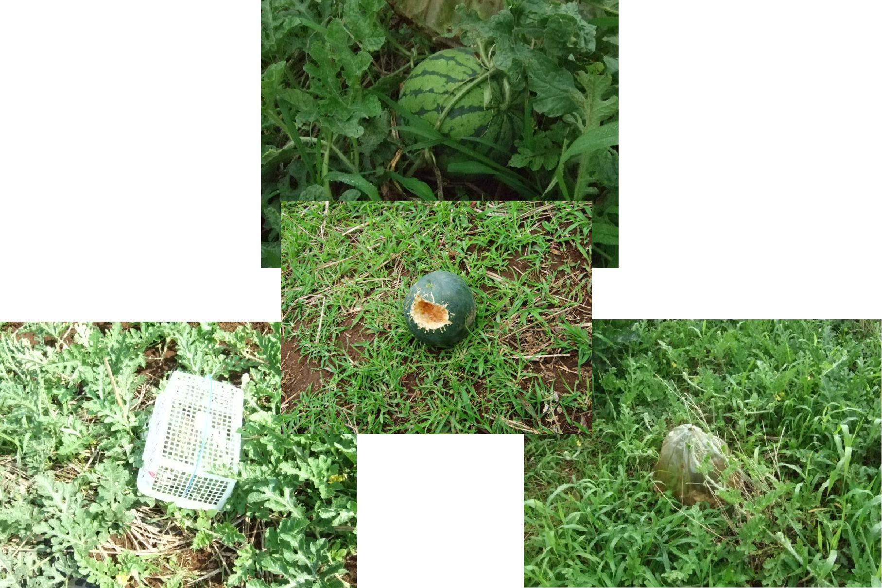 果物がカラスにやられた。クヤシイー_b0137932_20322365.jpg