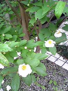 裏庭の夏椿_b0151911_11425817.jpg