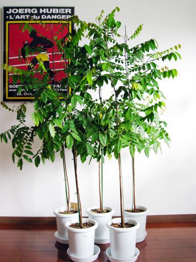 スターフルーツの苗, starfruit seedlings