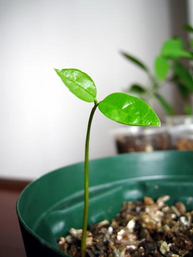 トゲバンレイシの発芽, germination of soursop