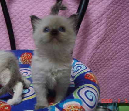 ラグドール 4週目の子猫ちゃん 女の子_e0033609_134042.jpg