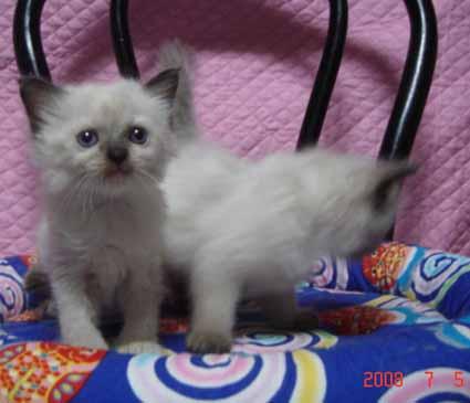 ラグドール 4週目の子猫ちゃん 女の子_e0033609_144984.jpg