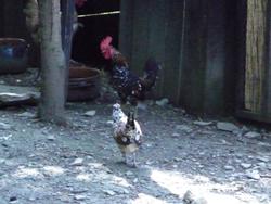 小さな母鶏と小さな小さなヒヨコを見ました_f0106597_5301128.jpg