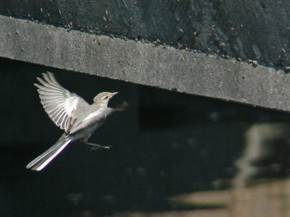 元気よく飛び回るハクセキレイの幼鳥たち (写真追加 7/6)_e0088233_1202359.jpg