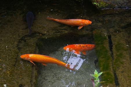 池の鯉。_f0163491_221567.jpg