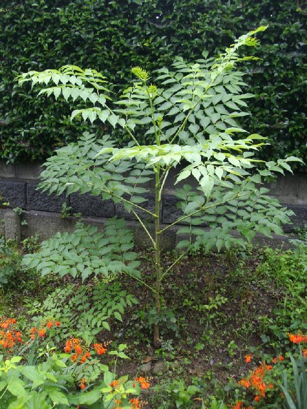 タラの木は太く大きくなっています。 (クチナシの花も_f0018078_17381353.jpg