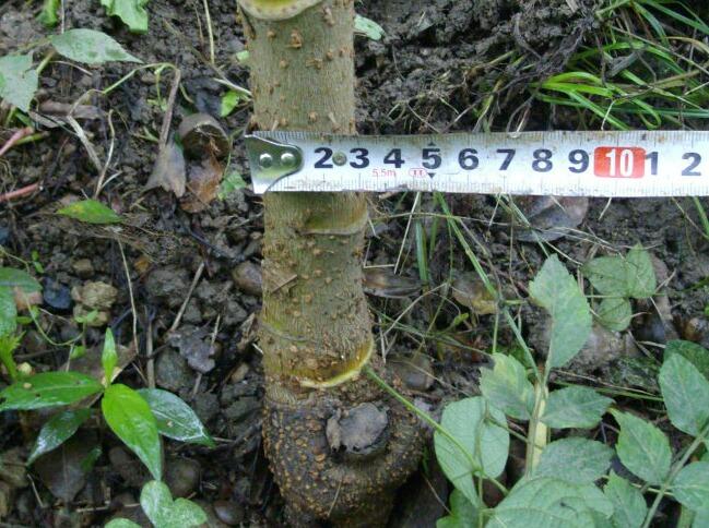 タラの木は太く大きくなっています。 (クチナシの花も_f0018078_17383926.jpg