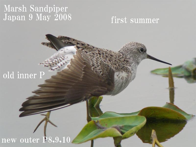 コアオアアシシギ3 Marsh Sndpiper /  Tringa stagnatilis_c0071489_1022748.jpg