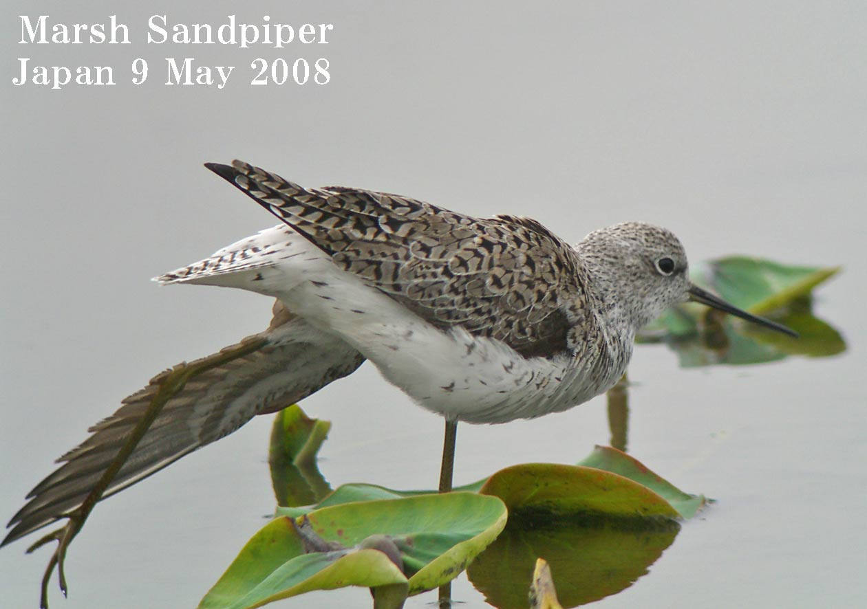 コアオアアシシギ3 Marsh Sndpiper /  Tringa stagnatilis_c0071489_110131.jpg