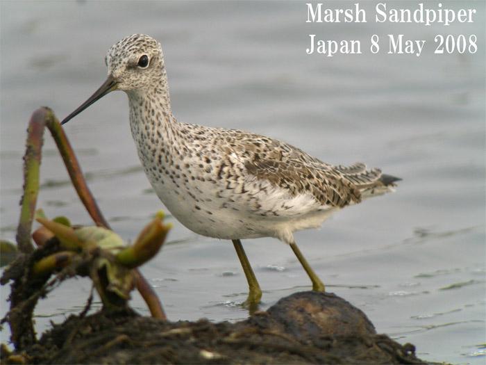 コアオアアシシギ3 Marsh Sndpiper /  Tringa stagnatilis_c0071489_7563473.jpg