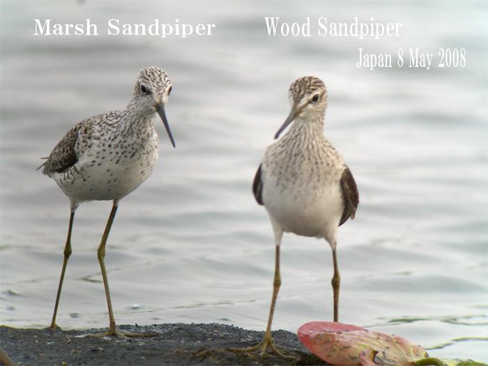 コアオアアシシギ3 Marsh Sndpiper /  Tringa stagnatilis_c0071489_757987.jpg