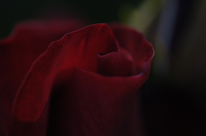 これまただいぶ前のチューリップの蕾です。赤い花で奇麗な色でした。
