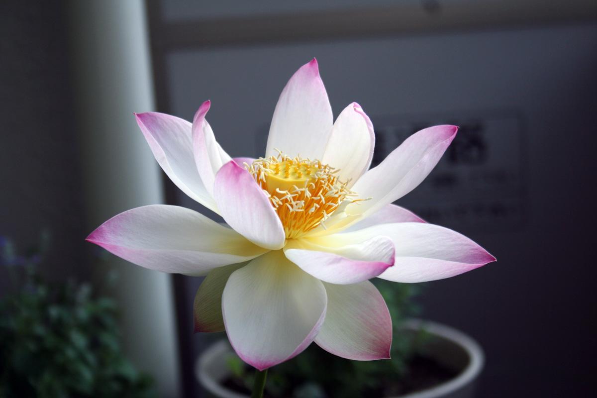 蓮(ハス)の開花 二日目_d0042049_8585839.jpg